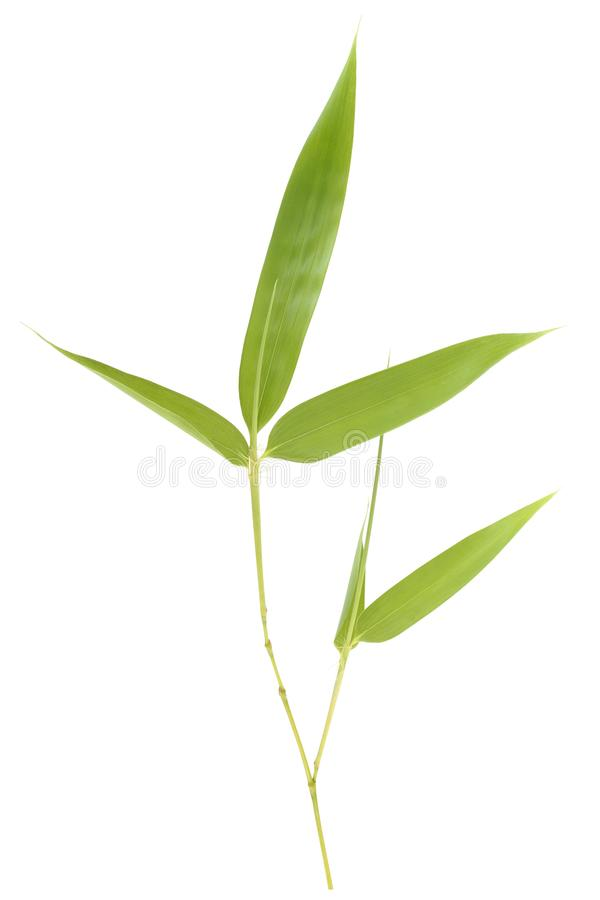 Bamboo leaves. Isolated on white background royalty free stock photo