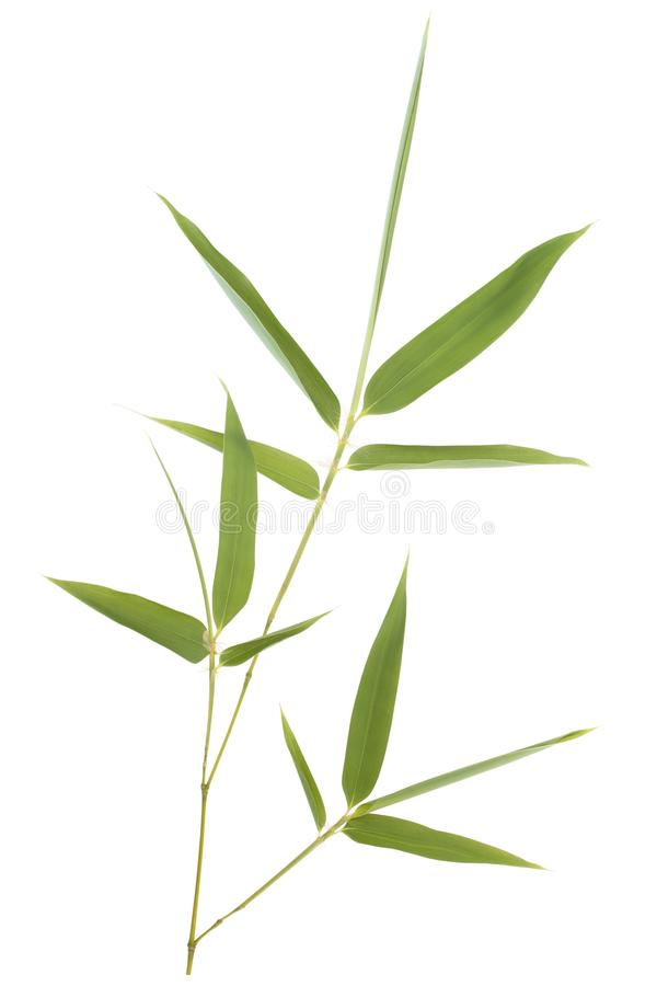 Bamboo leaves. Isolated on white background stock images