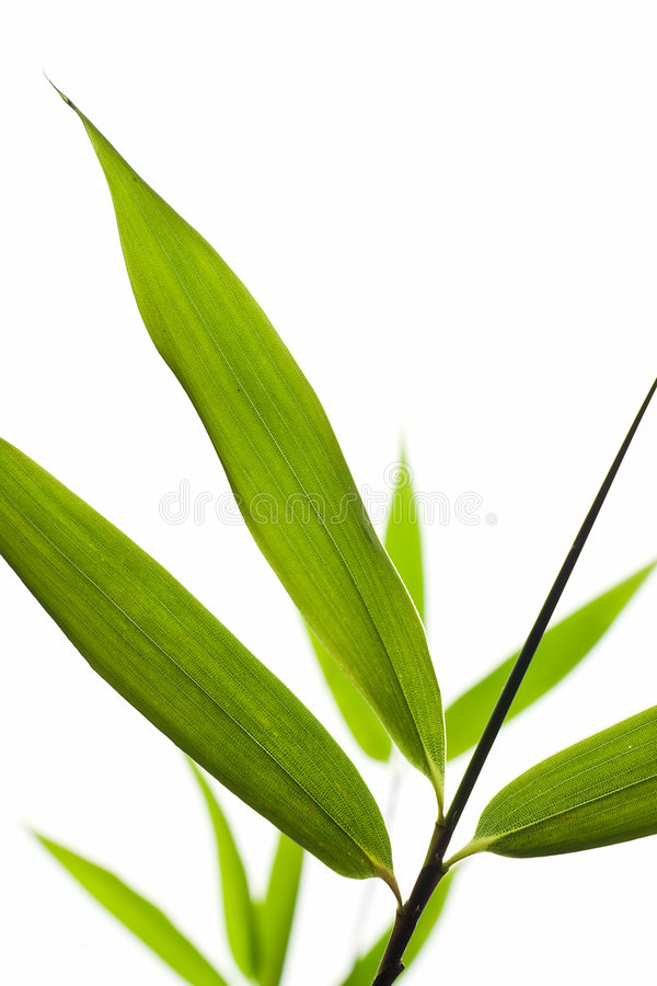 Bamboo leaves close-up stock photo