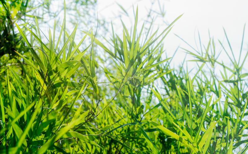 Bamboo leaves green. Feeling relaxed. stock image
