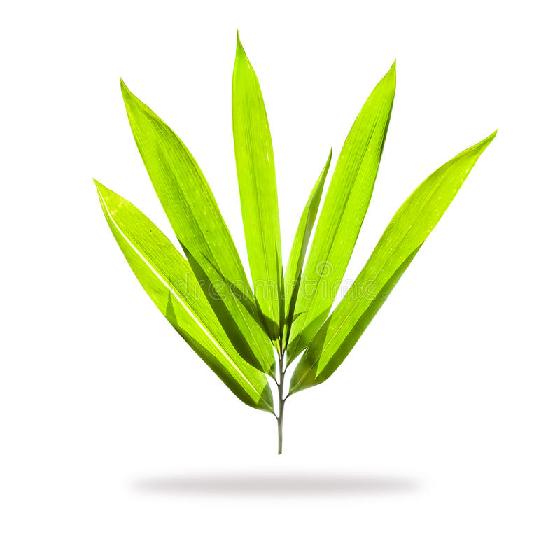 Bamboo leaves. Isolated on white background royalty free stock photos