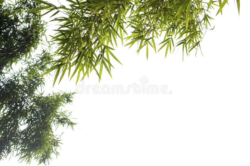 Bamboo leaves  on white background. With clipping paths for garden design.Tropical species found in Asia stock image