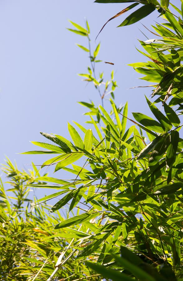 Bamboo Leaves Photo royalty free stock photography