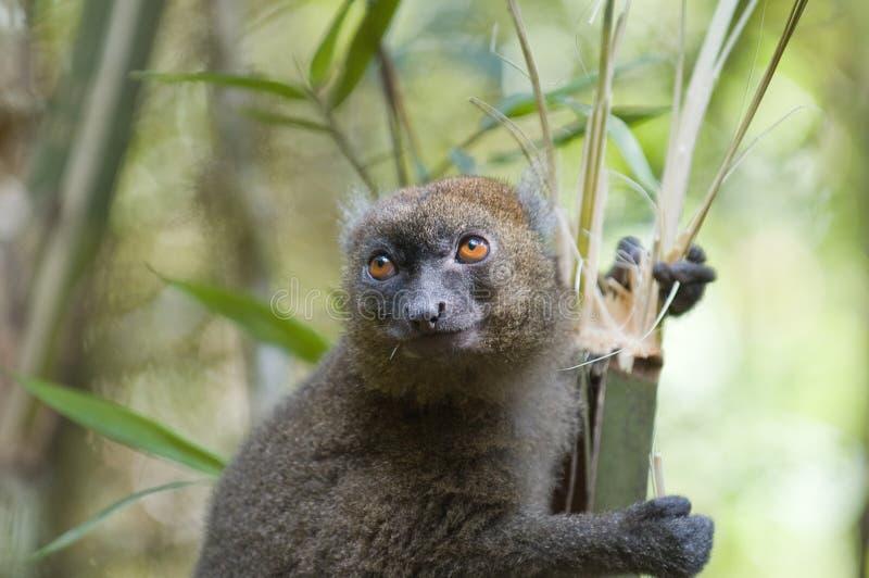 Bamboo Lemur stock photo