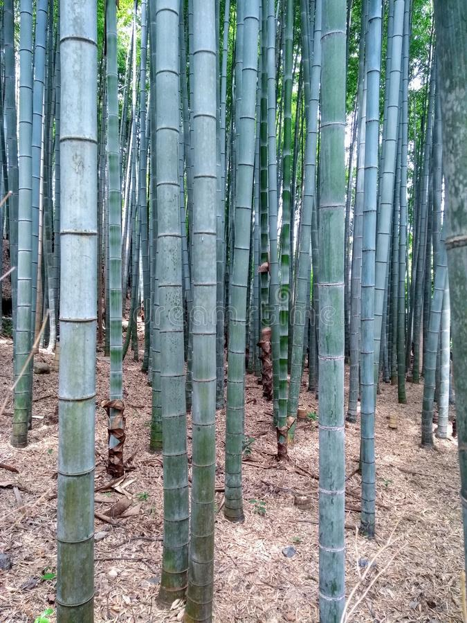 Bamboo National Park in Summer royalty free stock images