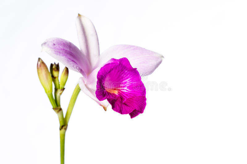 Bamboo orchid on white royalty free stock photography