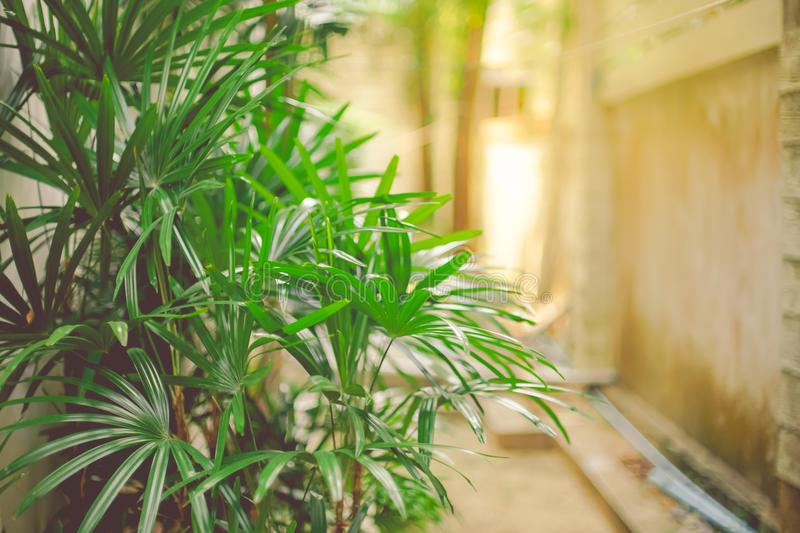 Bamboo palm / areca palm trees in garden as wall background with. Bright sun light royalty free stock image