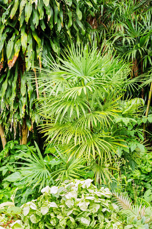 Bamboo palm or Lady palm tree in garden. Bamboo palm or Lady palm or Rhapis excelsa tree growing in ornamental garden stock images