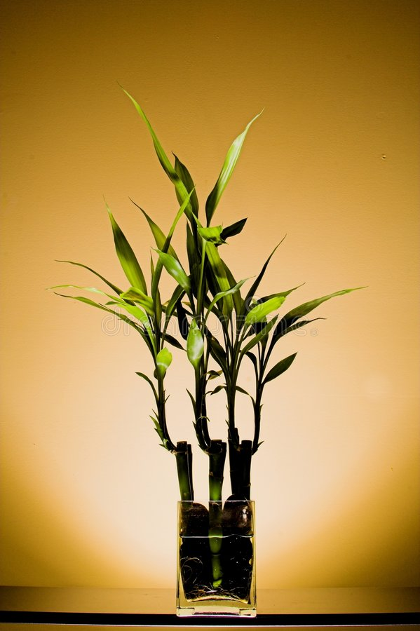 Free Bamboo Plant Stock Images - 627604