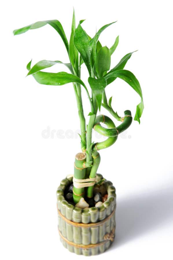 Bamboo Pot. Bamboo plant and pot isolated over a white background stock photo