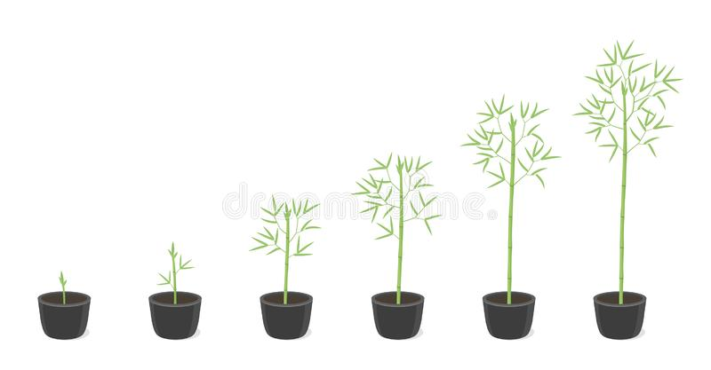 Bamboo potted growth stages. Clumping bamboos ripening period progression. Bambusa bambos tree life cycle animation plant phases. In a pot at home. Flat vector vector illustration