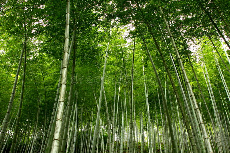 Download Bamboo Sea Royalty Free Stock Photography - Image: 12782837