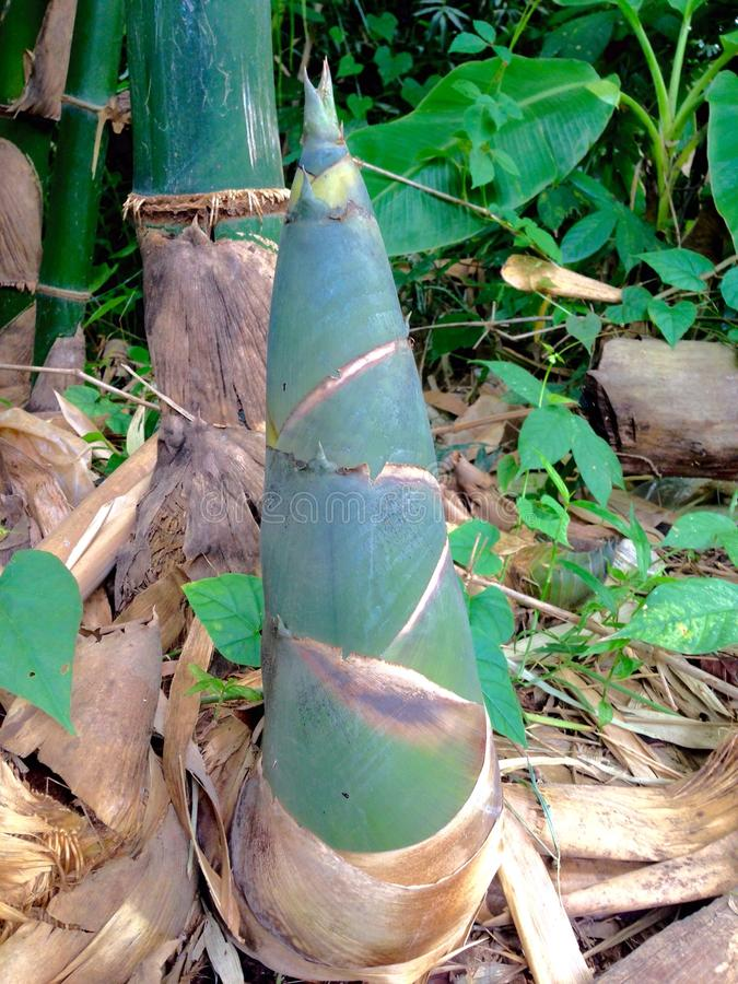 Bamboo shoot stock photo image 58029029 for Local landscape gardeners