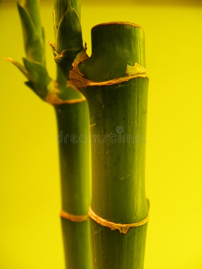 Download Bamboo shoots on yellow stock photo. Image of people, flora - 4172052
