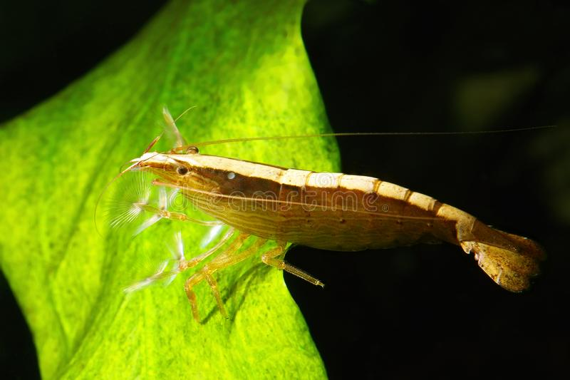Wood shrimp. Bamboo shrimp feeds by filtering the water flow. Atyopsis moluccensis royalty free stock photography