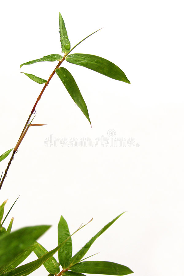 Bamboo sprig and raindrops. A sprig of miniature bamboo tree, with raindrops on its foliage. Green and refreshing colours give a nice mood. Taken with a clean stock photo