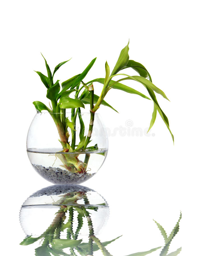 Download Bamboo Sprouts In A Glass Vessel Stock Image - Image: 12347831