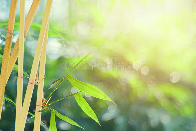 Bamboo sprouts tree on blur bokeh background in Morning summer season. Web background and copy space royalty free stock image