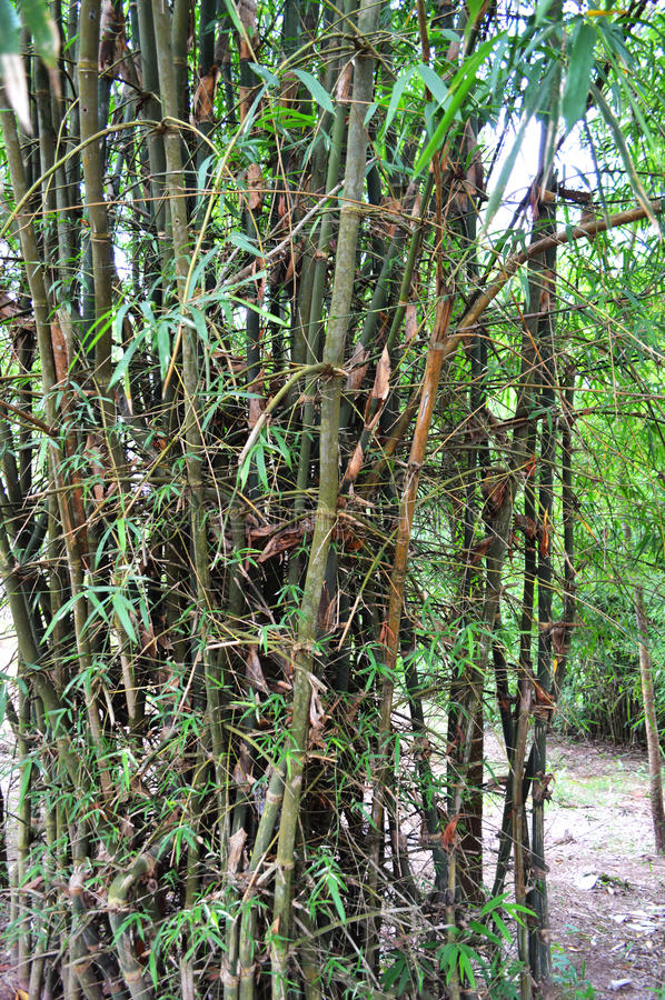 Bamboo. Stalks in a forest royalty free stock photography