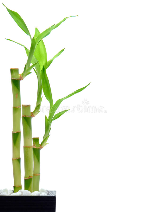 Bamboo Stems and Leaves Isolated on White royalty free stock image
