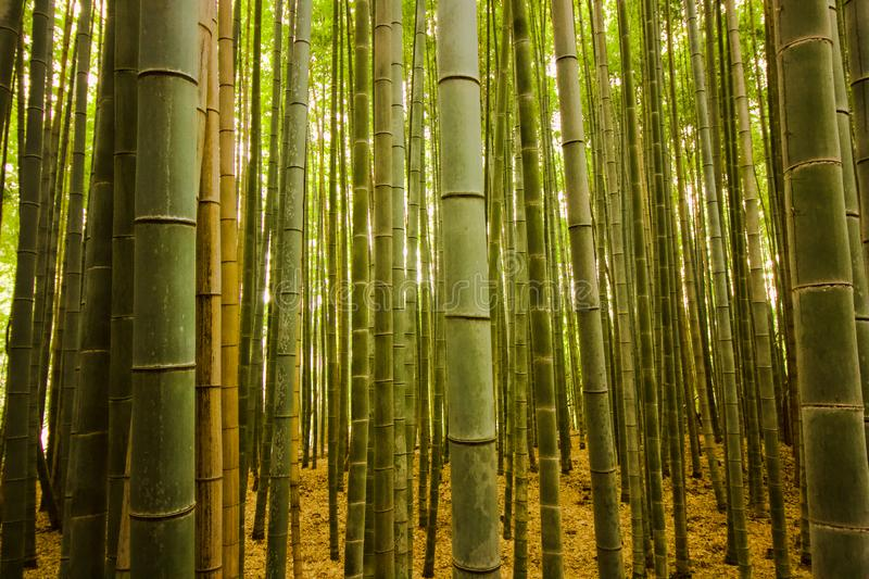 Bamboo stubs in the forest in Kyoto, Japan, enchanting forest of beautiful bamboo royalty free stock photo