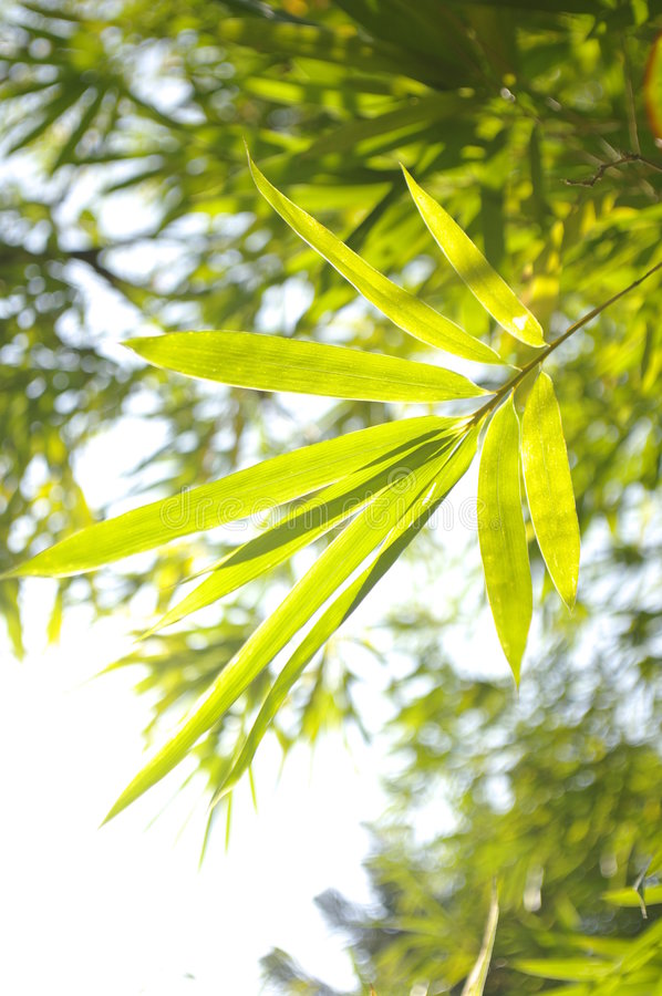 Bamboo in the sunshine stock photo