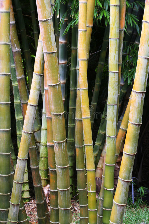 Bamboo thicket. Image of a bamboo thicket in the tropics stock photo