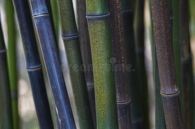 Bamboo thicket. Closeup of a thicket of growing bamboo stock images