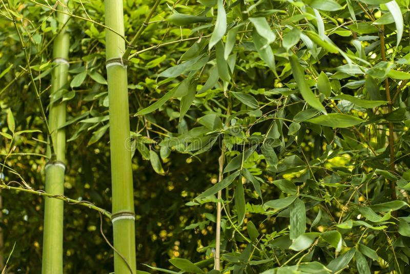 Bamboo thicket. Dense green sunlit vegetation thicket with two bamboo stalks in the foreground royalty free stock photo