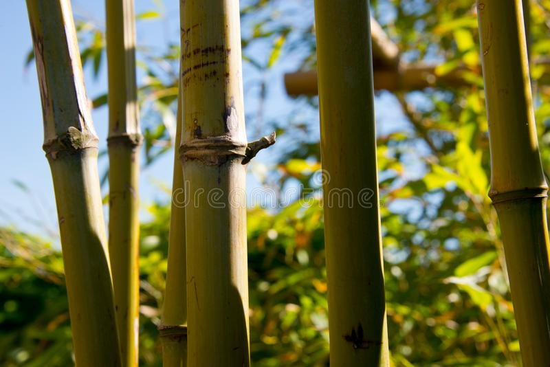 Bamboo thicket, shoots, leafs. And fence royalty free stock image