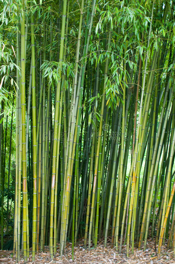 Bamboo thickets. royalty free stock images