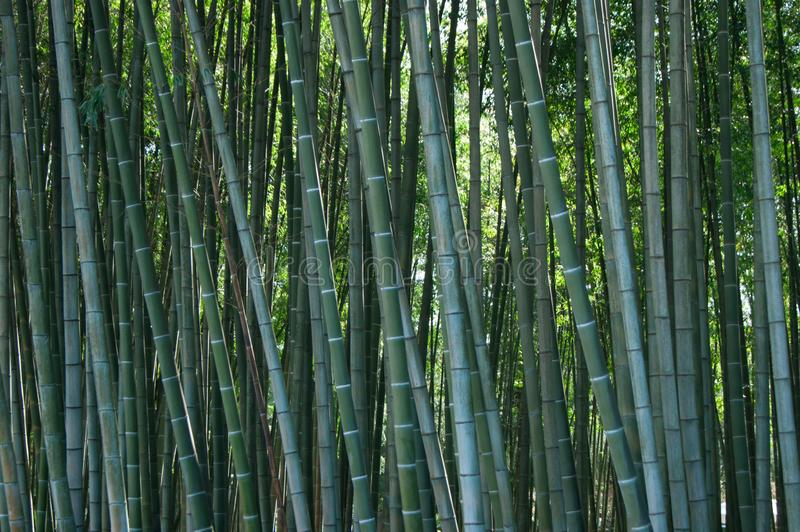 Bamboo thickets subtropical landscape. Design pattern stock photo