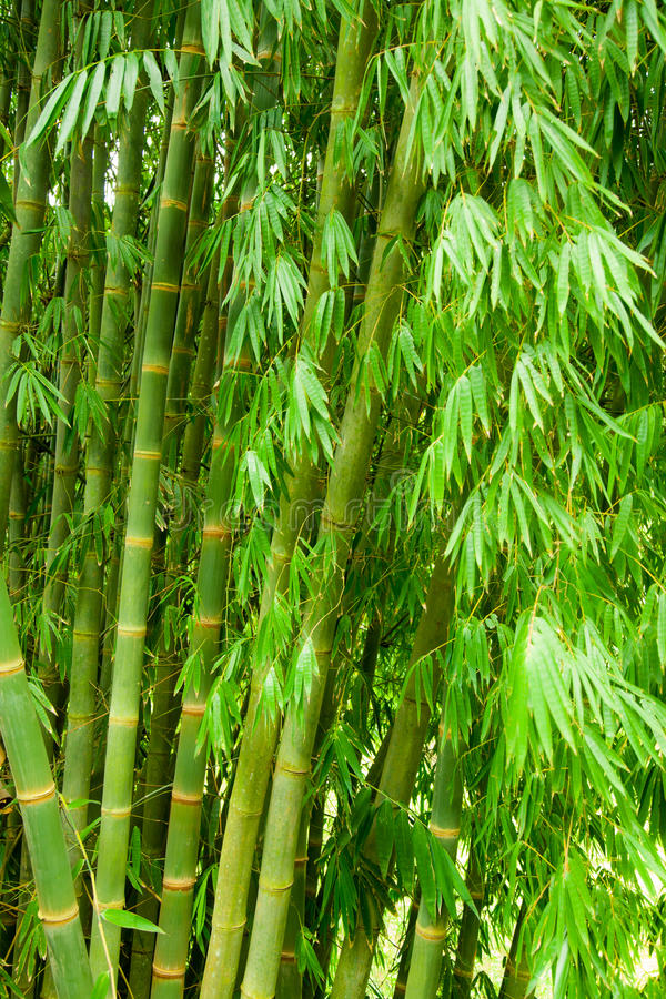 Download Bamboo Tree Stock Photo - Image: 19644590