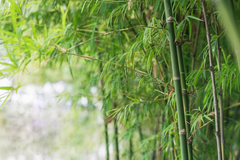 Bamboo tree background. Bamboo tree in garden green background stock photo