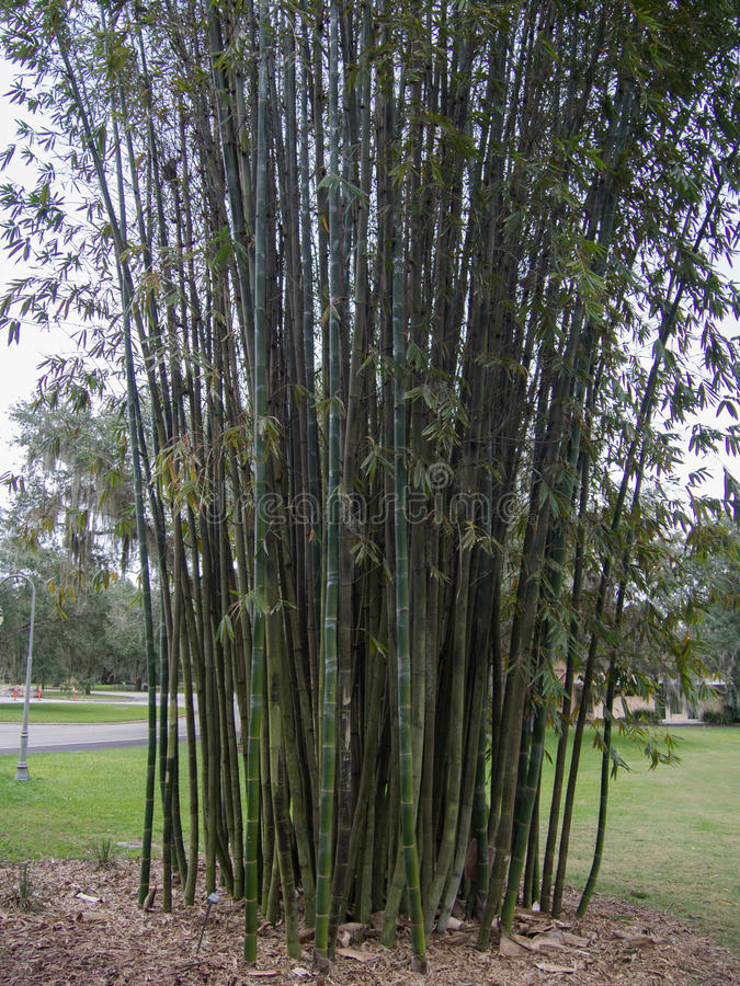 Bamboo Tree. At Bok Tower Gardens in Lake Wales, Florida stock photography