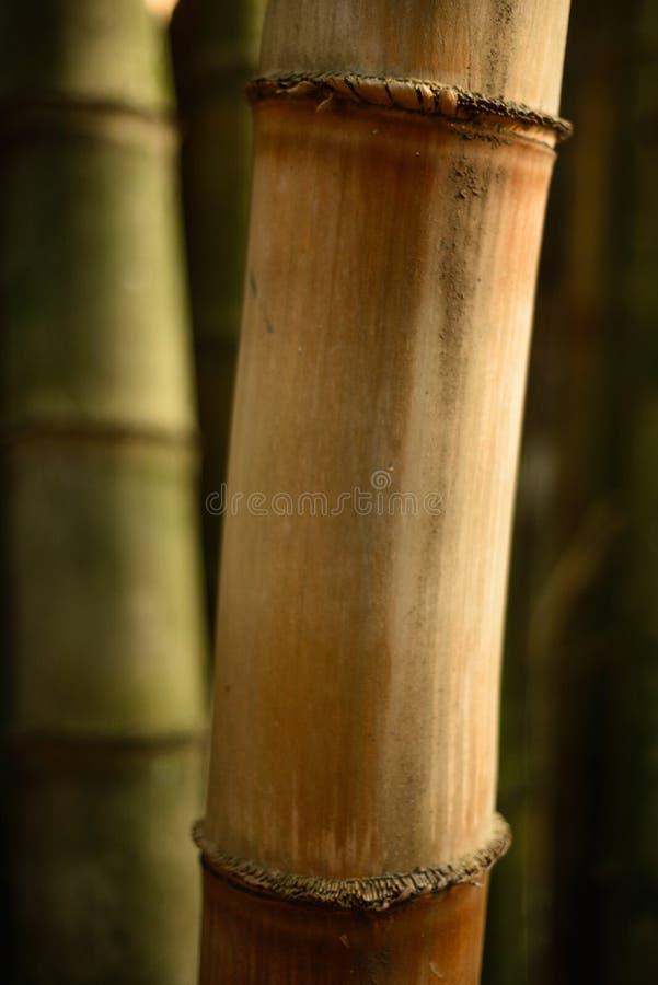 Bamboo tree detail on sunset stock image