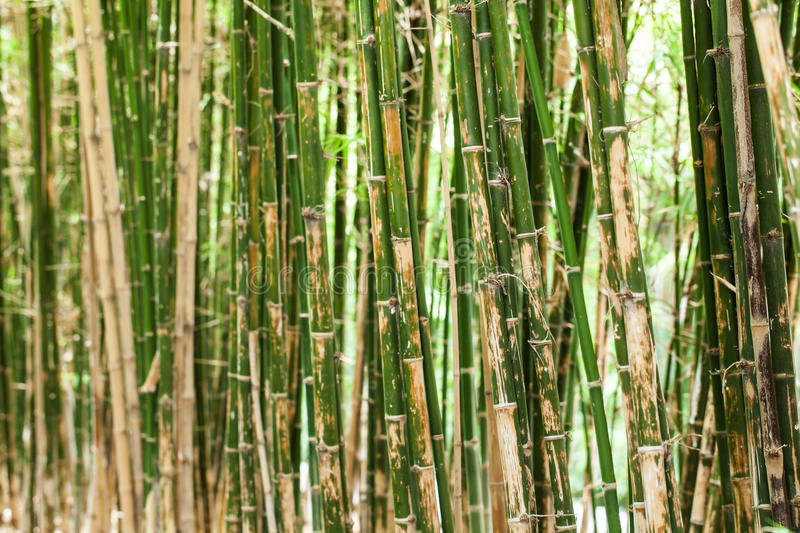 Download Bamboo tree stock image. Image of asian, plants, tree - 31842747