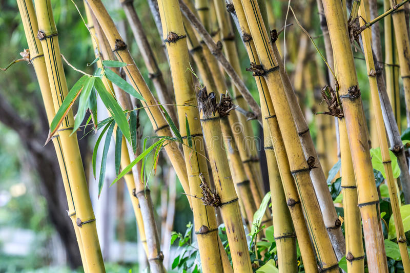 Download Bamboo tree stock photo. Image of culture, gardening - 35545836