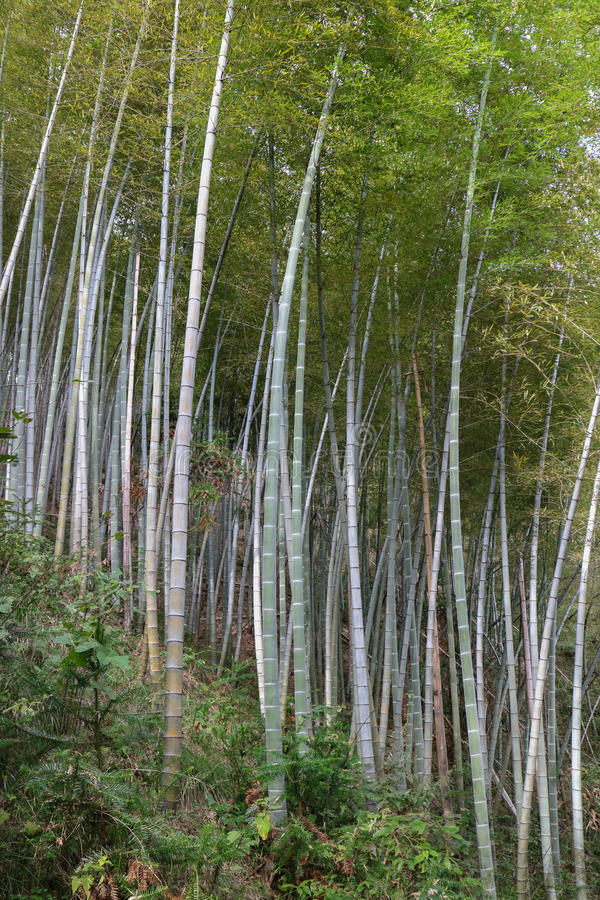 Bamboo tree. In bamboo forest stock photo