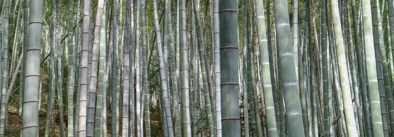 Bamboo tree. In bamboo forest royalty free stock photos
