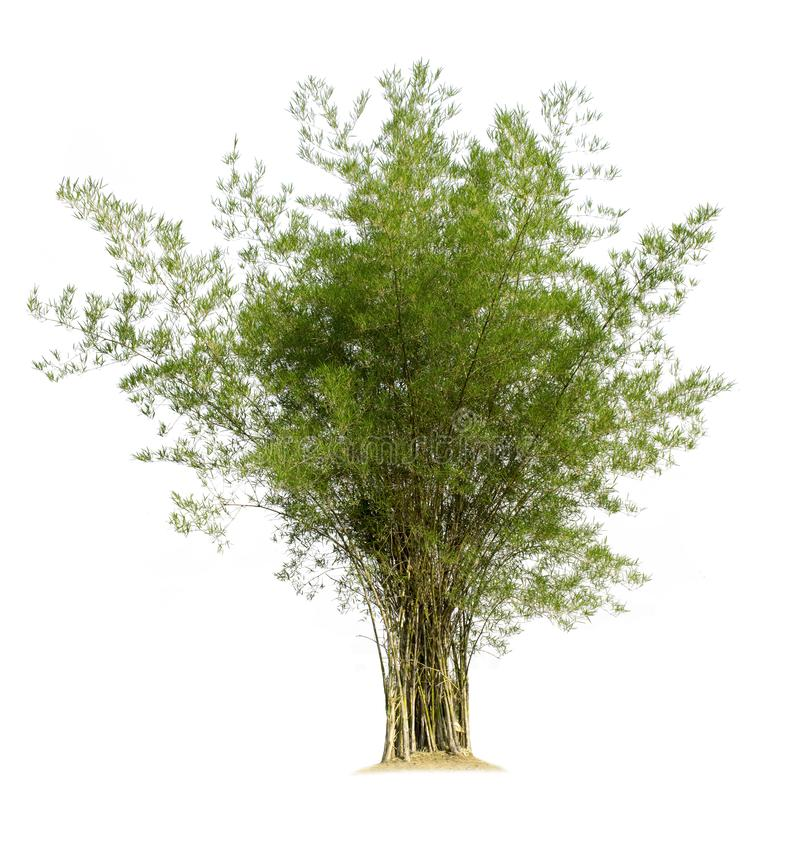 Bamboo tree isolated on white background. With clipping paths for garden design.Plants in the tropical rainforest That can be used for many purposes, both as stock photography