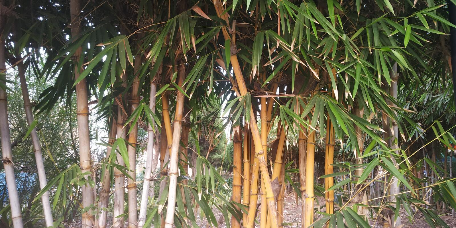 Bamboo Tree in Jungle stock photography