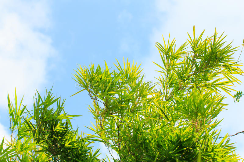 Bamboo tree leaf branch cloud blue sky stock photography