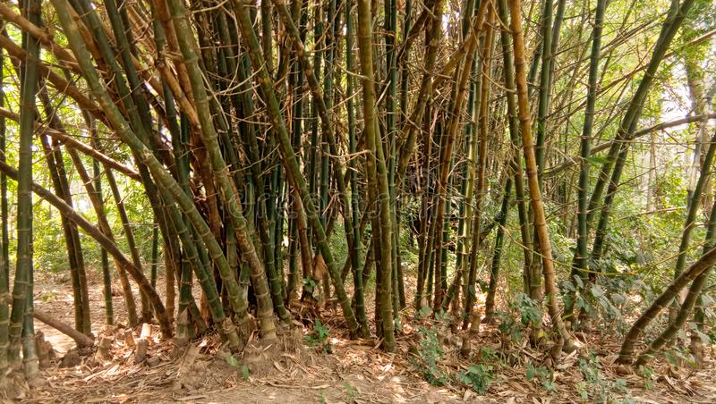 Bamboo tree in tropical forest in a summer noon image. Bamboo forest tree tropical image canopy rainforest  india summer noon-image forest-image stock photos