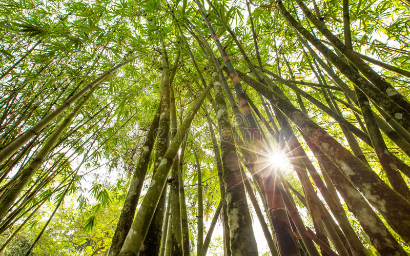 Bamboo Tree VI. Bamboo tree in the tropical forest stock image