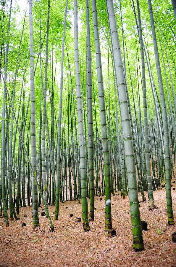 Bamboo trees. In the asian country royalty free stock image