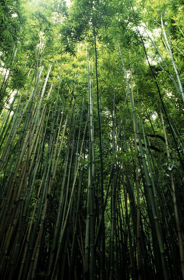 Free Bamboo Trees Royalty Free Stock Images - 1948519