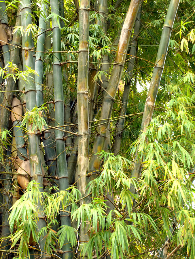 Free Bamboo Trees Stock Photography - 22661382