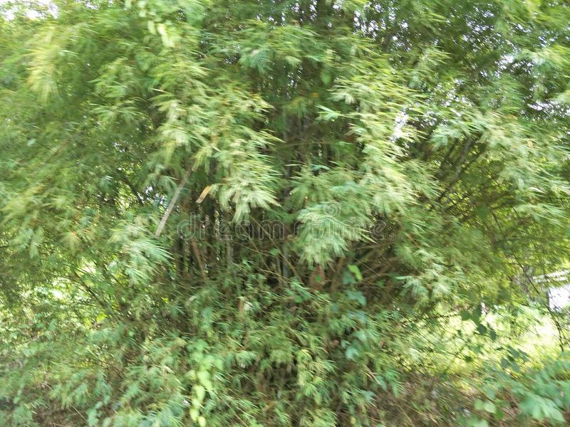 Bamboo trees in the garden. Farming at the hill royalty free stock photo