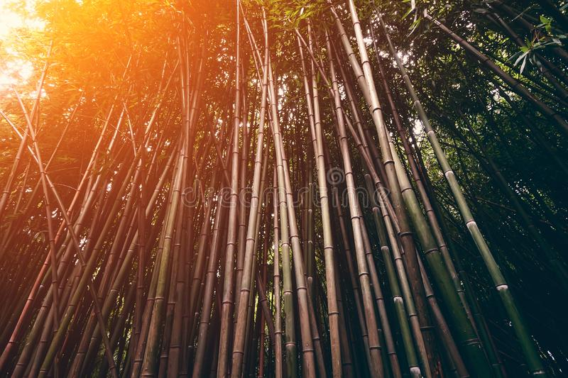 Bamboo trees in tropical rainforest in sunset light, view look up. Vintage style toned royalty free stock image